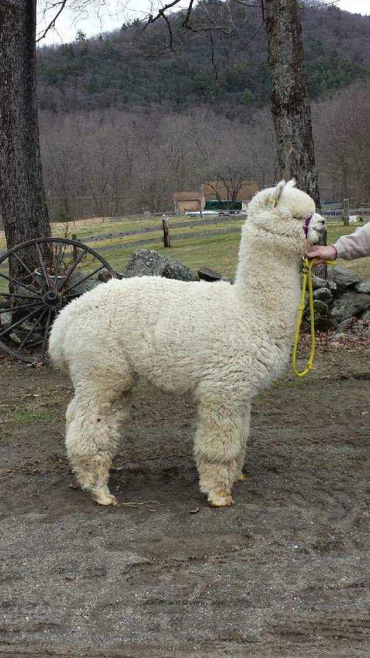 Alpaca shearing how it's done
